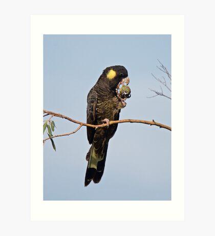 Yellow-tailed Black Cockatoo Art Print