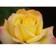 Yellow Rose 1 Photographic Print