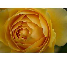 Yellow Rose 3 Photographic Print