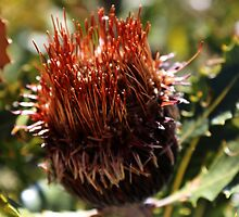 Banksia Flower  by myraj