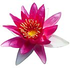 Pink Water Lily by BlaizerB