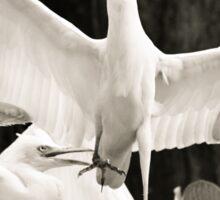 Cattle egret courtship display Sticker