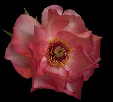 Peony Rose #2 by Karine Radcliffe