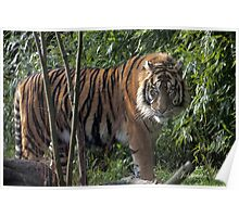 ...a Tiger for Valentine.... Poster