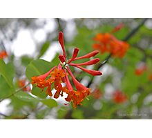 Lonicera X Brownii - Dropmore Scarlet Trumpet Honeysuckle | Middle Island, New York Photographic Print