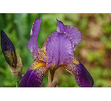 Purple Bearded Iris Photographic Print