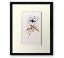 A monograph of the Trochilidæ or family of humming birds by John Gould 1861 V1 216 Phaethornis Cephalus Framed Print