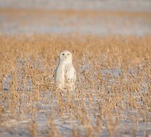 Snowy Owl 2016-4 by Thomas Young