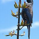 Tui and the flowering Flax.......! by Roy  Massicks