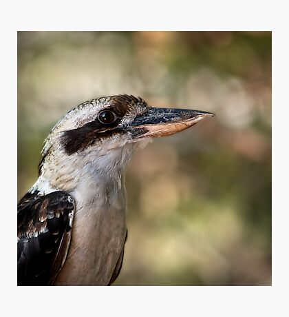 Kookaburra portrait Photographic Print