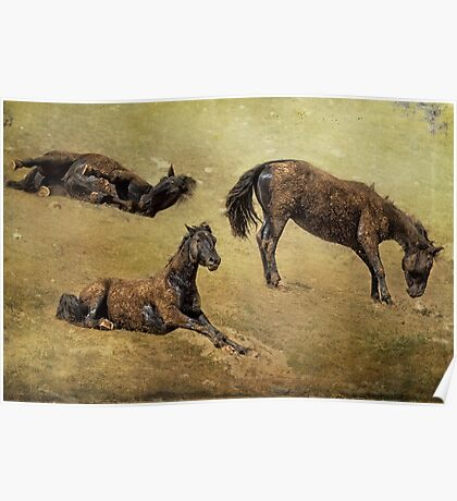 How a Black Horse Turns Brown - Pryor Mustangs Poster