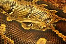 Boa constrictor Up Close by Jo Nijenhuis