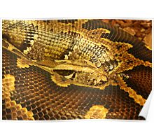 Boa constrictor Up Close Poster
