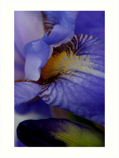 blue iris flower and bud abstract by dedmanshootn