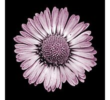 Retro Daisy in Pink Photographic Print