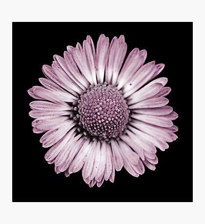 Retro Daisy in Pink Photographic Print