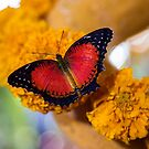 United Arab Emirates. Dubai. Butterfly Garden. Red on yellow. by vadim19