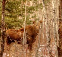 Moose Calf in Winter Sticker