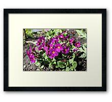 violet primrose springtime Framed Print