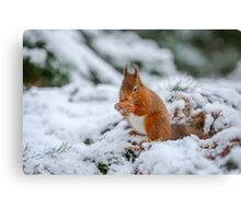 Red squirrel gathering food Canvas Print