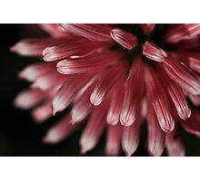 pink crysanthemum Photographic Print