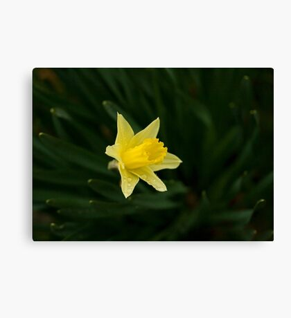 Narcissus Daffodil and leaves Canvas Print