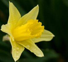 Narcissus Daffodil and leaves Sticker