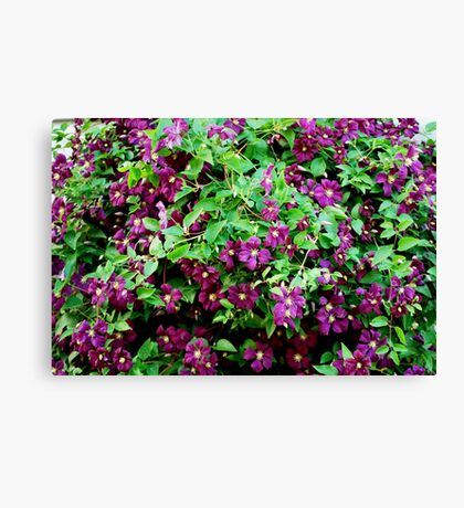 Clematis in Bloom Canvas Print
