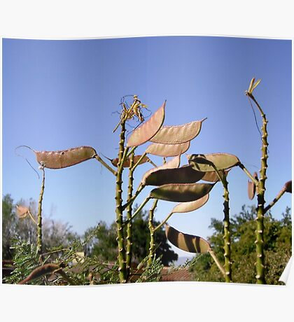 Seed Pods from Bird of Paradise bush Poster