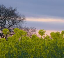 Rapeseed and oak in evening light outside Ackworth, West Yorkshire Sticker
