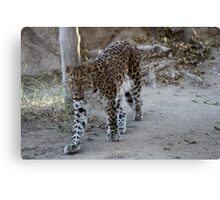 The beautiful magestic Leopard...... Canvas Print