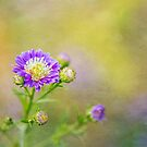 Aster by Colleen Farrell