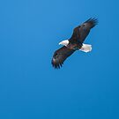 Bald Eagle In Blue Sky by Deb Fedeler