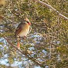 Cardinal Female In Evergreen by Deb Fedeler