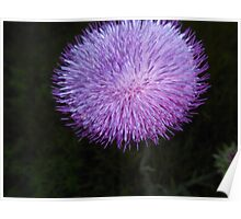 Flower with purple and pink spiked petals Poster