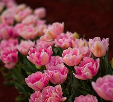 Tulips in a Row by Ewan Arnolda