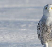 Snowy Owl Sticker