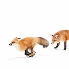 Chasing Foxes - Red Fox by Jim Cumming