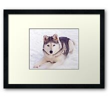 Husky in snow Framed Print