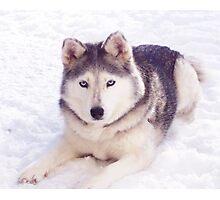 Husky in snow Photographic Print
