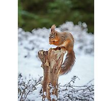 Red squirrel sitting in forest Photographic Print