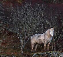 Scottish Highland Pony by derekbeattie