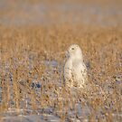 Snowy Owl 2016-5 by Thomas Young