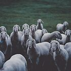 Sheep gang landscape animal photography by regnumsaturni