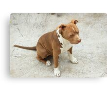Pit Bull With Closed Eyes Canvas Print
