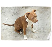 Pit Bull With Closed Eyes Poster