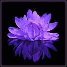 amazon waterlily ~ on black by roger smith