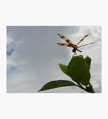 Dragonfly on Mangrove Photo Photographic Print