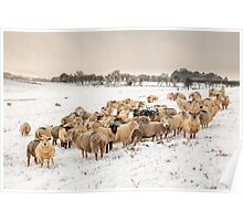 Cold Sheep in the Snow Poster