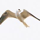 White Tailed Kite by SuddenJim
